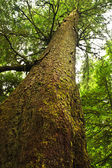 Tall hemlock tree trunk in temperate rainforest — Stock Photo