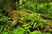 Lush temperate rainforest — Stock Photo