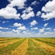 Stock Photo: Wheat farm field at harvest