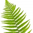 Stock Photo: Fern leaf
