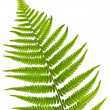 Fern leaf - Stock Photo
