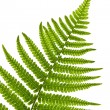 Fern leaf — Stock Photo #6696530