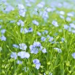 Blooming flax - Stock Photo