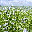 Blooming flax field — Stock Photo #6696542
