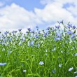 Blooming flax field — Stock Photo