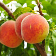 Peaches on tree — Stock Photo #6696564