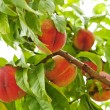 Peaches on tree — Stock Photo
