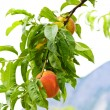 Peaches on tree - Stock Photo