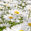 Daisies in garden — Stock Photo