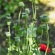Stock Photo: Poppy plants in garden