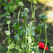Poppy plants in garden - Stock Photo
