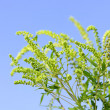 Ragweed plant - Stock Photo
