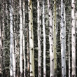 Aspen tree trunks - Stock Photo