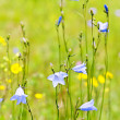 Blue harebells wildflowers - Stock fotografie