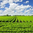 Rows of soy plants in a field - Stock Photo