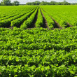 Rows of soy plants in a field — Stock Photo #6696854