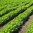 Rows of soy plants in a field — Stock Photo #6696858