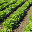 Rows of soy plants in a field — Stock Photo #6696860