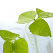GM plant seedlings in test tubes — Stock Photo