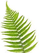 Fern yaprak — Stok fotoğraf