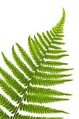 Fern leaf — Foto de Stock