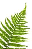 シダの葉 — ストック写真