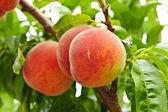 Peaches on tree — Stock Photo