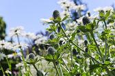 Cardi e margherite in giardino — Foto Stock