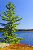 Pine tree at lake shore — Stock Photo