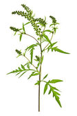 Ragweed plant — Stock Photo