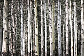 Aspen tree trunks — Stock Photo
