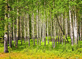 Aspen trees in Banff National park — Stock Photo