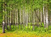 Aspen trees in Banff National park — Stock Photo