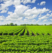 Rows of soy plants in a field — Stok fotoğraf