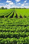 řádky rostlin sóji v poli — Stock fotografie