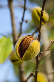 Sprig with mature almond, close up, shallow depth of field — Stock Photo
