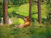 Tiger on a hill — Stock Photo