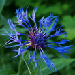 Blue cornflower — Stock Photo #5859942