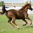 Stock Photo: ArabiHorse