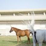 Arabian Horse — Stock Photo #6194629