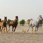 Arabian Horse — Stock Photo