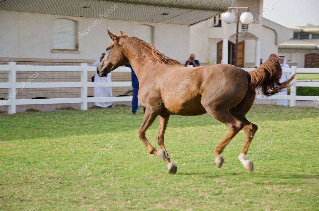 Arabian Horse — Stock Photo #6345452