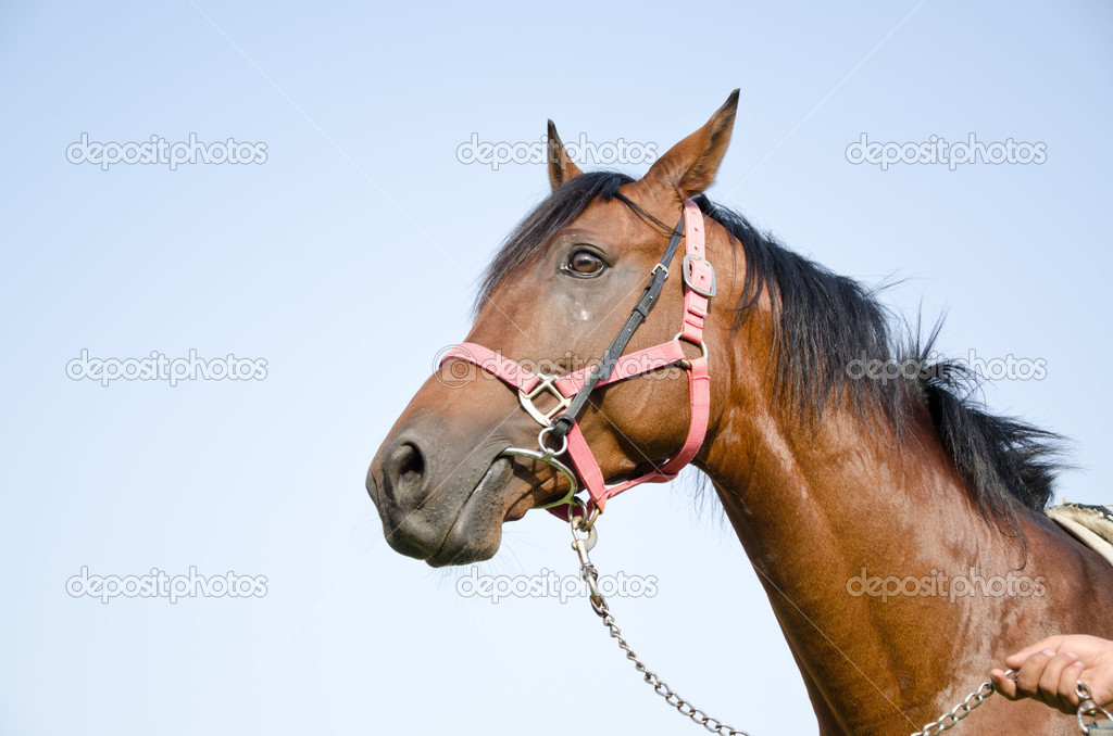 Arabian Horse — Stock Photo #6345769
