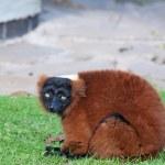 Red ruffed lemur — Stock Photo #5520782