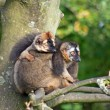 Two lemurs on tree — Stock Photo #5520789