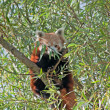 Red panda - Stockfoto