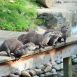 Stock Photo: Otters wait for feeding