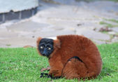 Red ruffed lemur — Stock Photo