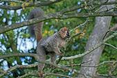 Lemur on the tree — Stock Photo