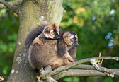 Two lemurs on the tree — Stock Photo
